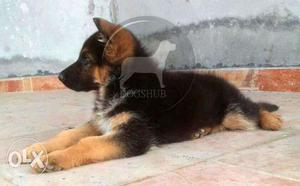 German (Dogs) Shepherd (Dogs) Puppies (Dogs) quality and
