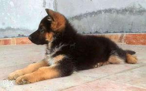 German (Dogs) Shepherd (Dogs) black and brown dark color B