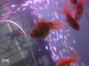 Gold fishes for sale. big gold fishes pais for