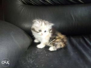Heir I have cute Persian kittens available