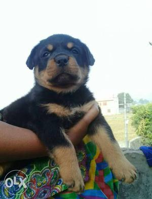 O6 Rottweiler puppy 35 days old pure breed available