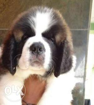 Saint (Dogs) bernad (Dogs) male and female puppies best