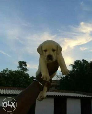 Show quality lab puppies for sell for show