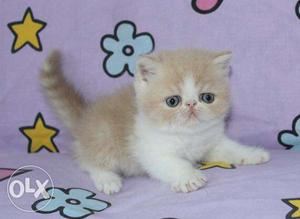 So Beautiful So Nice Persian Kittens & Cats For Sale. All