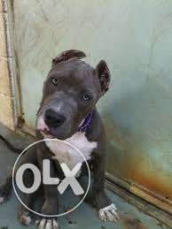 Strong american bully and pitbull puppies
