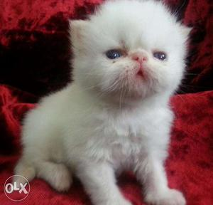 Very sweets Persian cat and kitten for sale.in varanshi