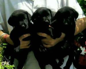 Z black labrador puppy available for show home