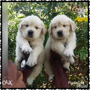 Best quality Golden retriever puppies male at