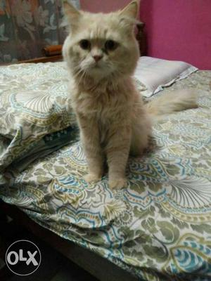 Creme colour Persian cat
