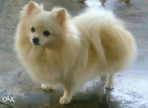 old mobile homes for sale with Miniature Culture Pom Available In Amazing Pet on Homes For Sale In San Antonio further 7146894717 in addition Cedar Shake Siding together with Alabamas most expensive homes further Wood Species.