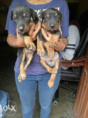 Doberman puppies available pure breed puppies