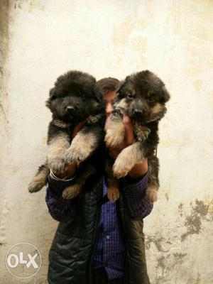 German Shepherd double coat puppies available all