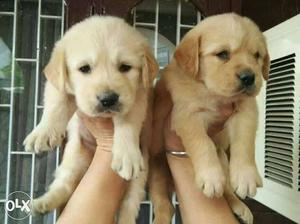 Golden retriever puppies available all breed type