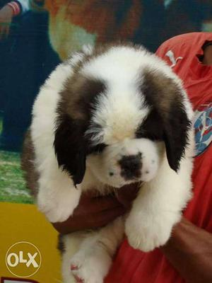 Import lineage saint Bernard puppy available in
