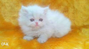 Its very friendly nature persian cat and kitten for sale in