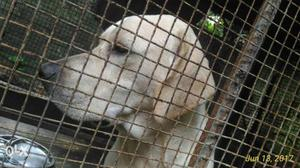 Labrador dog available for sale
