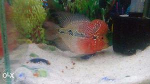 Flowerhorn fish fry good color and head guarantee | Posot Class