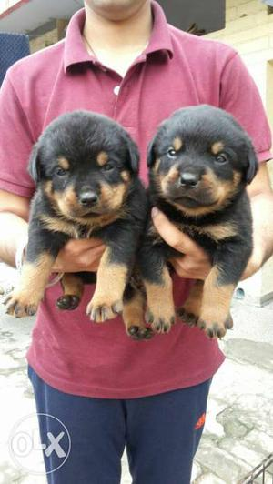 Rottweiler 35 days old puppies sell all breed