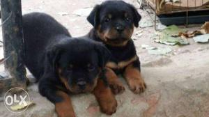 Rottweiler puppy import lineage available in