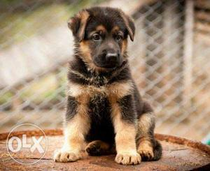 Show Quality Female German Shepherd (GSD) Puppy for sale
