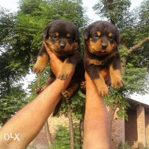 Show quality Rottweiler puppy available. l31