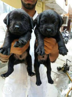 Top Quality Labrador Puppy Available