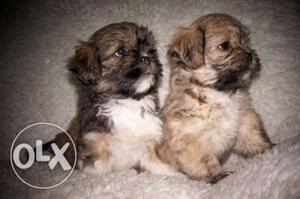 !! York shire terrier & Toy pom & Lasha apso & Good healthy