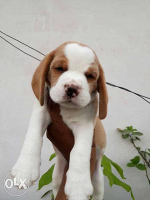 100%Pure Beagle male pup available in Amritsar