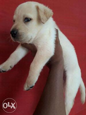 All type breed puppies available for sale... Show