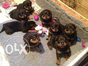 American and German Rottweiler available, buyer can see