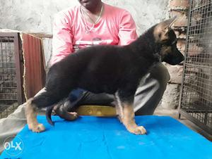 Excellent havey bone show quality gsd puppy for