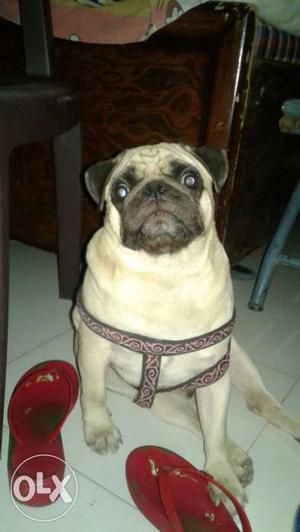 Fawn Pug In Bathinda
