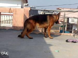 German shefered male. 14month old ready for new