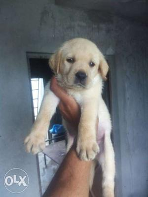 Labrador puppies Indian American both quality