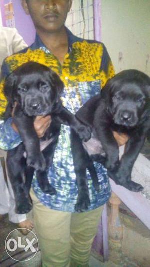 Labradore black colour puppies available top