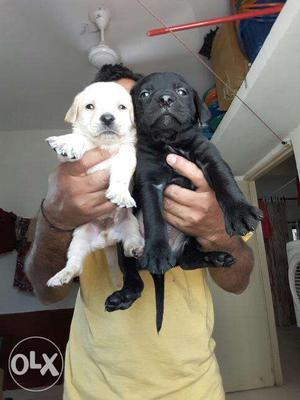 Labradore white and black colour puppies