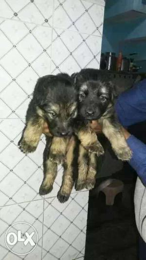 O6 All Breed dogs sale and purchase in jalandhar