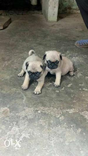 Pug female puppy avilable for show home. 40 days