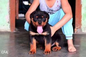 Rottweiler male puppy. if anyone want this type