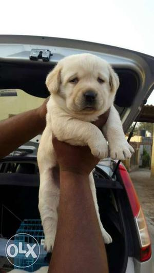 Show quality Labrador Puppies Sell At (Gwalior