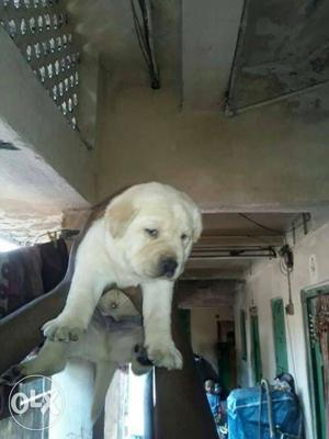 Show quality labrador puppy