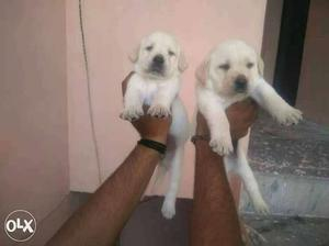 Summer offer show quality labrador Puppies available