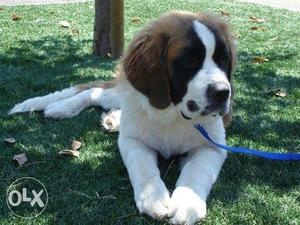 Superb Quality Saint Bernard Dog Available for sell.