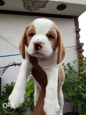Top Quality Beagle Puppies available in Amritsar.