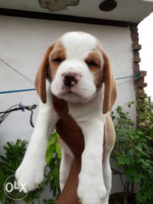Top Quality Beagle male pup available in Amritsar