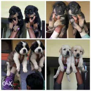 We have show quality labrador, gsd rottweiler,