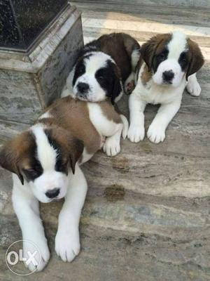 All breed available in different price lab