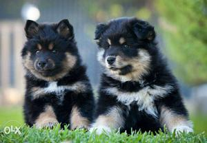 Best quality puppy available at lowest price