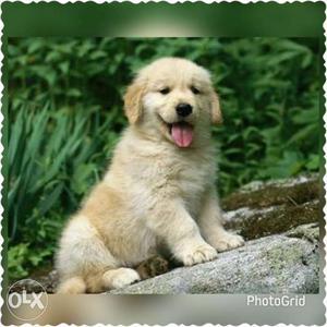 Pretty Golden retriever puppies male at
