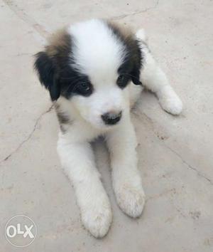 Saint Bernard female puppies for sale. Very friendly &